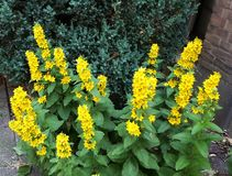 Красивые желтые цветки, Lysimachia Punctata стоковое изображение