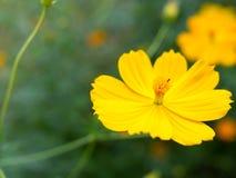 Красивые желтые цветки starship в саде Стоковые Фото