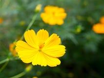 Красивые желтые цветки starship в саде Стоковая Фотография RF