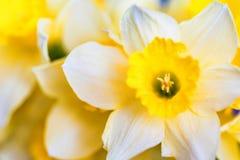 Красивые желтые daffodils закрывают Стоковые Фотографии RF
