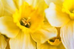 Красивые желтые daffodils закрывают Стоковое Изображение RF