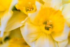Красивые желтые daffodils закрывают Стоковое Изображение