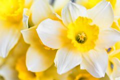 Красивые желтые daffodils закрывают Стоковое Фото