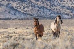 Красивые жеребцы дикой лошади в пустыне Стоковая Фотография RF