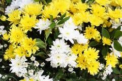 Красивые желтые и белые цветки стоковая фотография rf