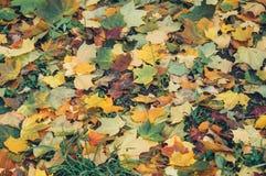 Красивые желтые и красные кленовые листы Стоковые Фото
