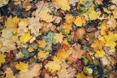 Красивые желтые и красные положенные кленовые листы упаденными Стоковое Изображение RF