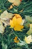 Красивые желтые и красные положенные кленовые листы упаденными Стоковая Фотография RF