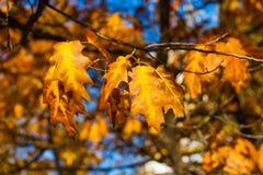 Красивые желтые и оранжевые кленовые листы осени над голубым небом Стоковое Изображение