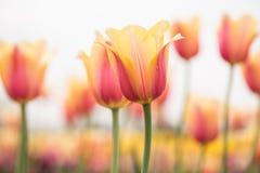 Красивые желтые и розовые тюльпаны Голландия Мичиган Стоковые Фото