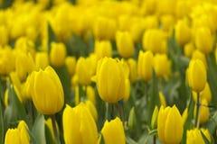 Красивые желтые тюльпаны весной Стоковое Изображение RF