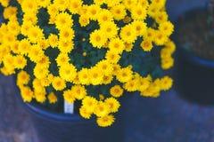 Красивые желтые цветки, свежий цвет в ящике Стоковое Изображение
