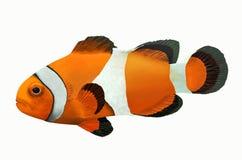 Красивые желтые clownfish Стоковое Фото