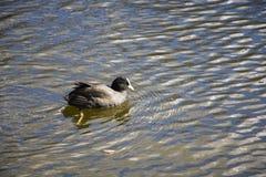 Красивые заплывы утки в воде в парке стоковые фотографии rf
