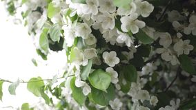 Красивые зацветая белые цветки кустарников r Время весны цвести, украшая зеленые кустарники с белизной стоковое изображение