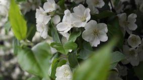 Красивые зацветая белые цветки кустарников r Время весны цвести, украшая зеленые кустарники с белизной стоковая фотография rf