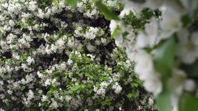 Красивые зацветая белые цветки кустарников r Время весны цвести, украшая зеленые кустарники с белизной стоковое фото