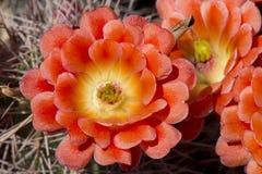 Красивые зацветая одичалые цветки кактуса пустыни Стоковые Изображения RF