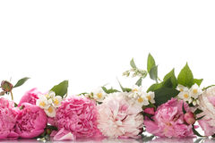 Красивые зацветая пионы стоковая фотография