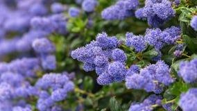 Красивые зацветая пурпурные калифорнийские цветки сирени, repens thyrsiflorus Ceanothus весной садовничают стоковые фотографии rf