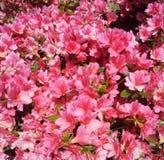 Красивые зацветая розовые цветки Стоковая Фотография RF