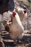 Красивые здоровые chikens cockereland идя на том основании Ферма птицы концепции стоковые изображения rf