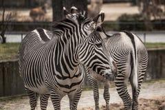 Красивые зебры на зоопарке в Берлине Стоковая Фотография