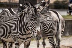 Красивые зебры на зоопарке в Берлине Стоковые Изображения RF