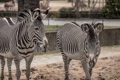 Красивые зебры на зоопарке в Берлине Стоковое Фото