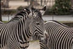 Красивые зебры на зоопарке в Берлине Стоковые Изображения