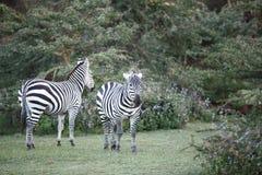 Красивые зебры около озера Naivasha Стоковое Изображение