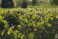 Красивые зеленые листья кустов в парке загоренном по солнцу стоковое фото rf