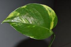 Красивые зеленые лист крытого завода Стоковое Изображение RF
