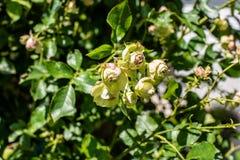Красивые зеленые розы Стоковые Изображения