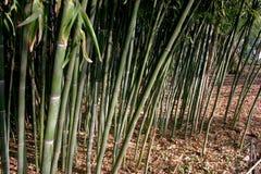 Красивые зеленые бамбуки холодн-упорные в Америке, положение  Стоковое Фото