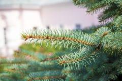 Красивые зеленые ветви сосны Стоковое Фото