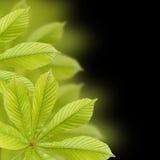 Красивые зеленые листья каштана. Предпосылка, картина листьев Стоковые Изображения