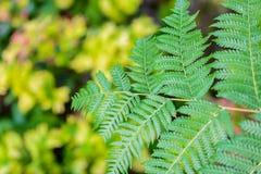 Красивые зеленые листья папоротника Стоковое Изображение