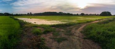 Красивые зеленые поля риса Стоковое Фото