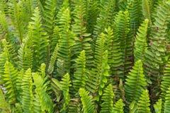 Красивые зеленые стержни и листья папоротника Pteridophyta Стоковые Изображения RF