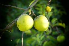 Красивые зеленые яблоки на дереве Стоковое Фото