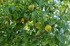 Красивые зеленые яблоки на дереве Стоковые Фото