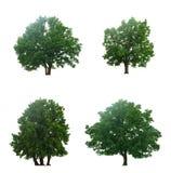 Красивые 4 зеленых дерева Стоковая Фотография