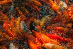 Красивые золотые рыбы Koi Стоковое Изображение