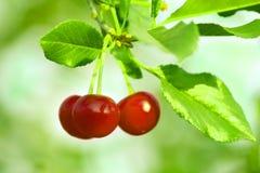 Красивые зрелые свежие красные вишни на ветви в лете солнечном Стоковые Изображения