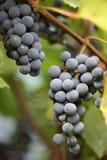 Красивые зрея группы виноградин Стоковое Фото
