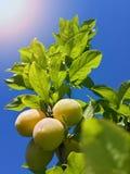 Красивые зрелые сливы и голубое небо лета Стоковые Изображения RF