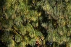 Красивые иглы сосны с конусами Стоковая Фотография