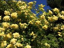 Красивые изгибчивые ветви Banksiae подняли Стоковое Изображение RF