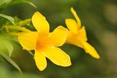 Красивые изображения запаса цветка золотой трубы Стоковая Фотография